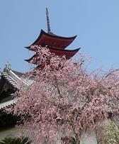 御文庫の桜