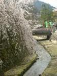 御手洗川のしだれ桜