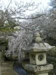 御手洗川しだれ桜
