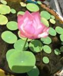 大師堂前の蓮の花