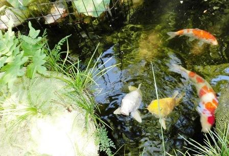 鯉がかわいい