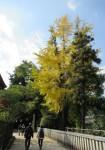 厳島神社裏の銀杏