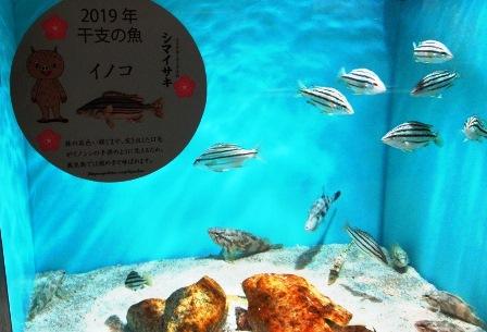 今年の魚:イノコ