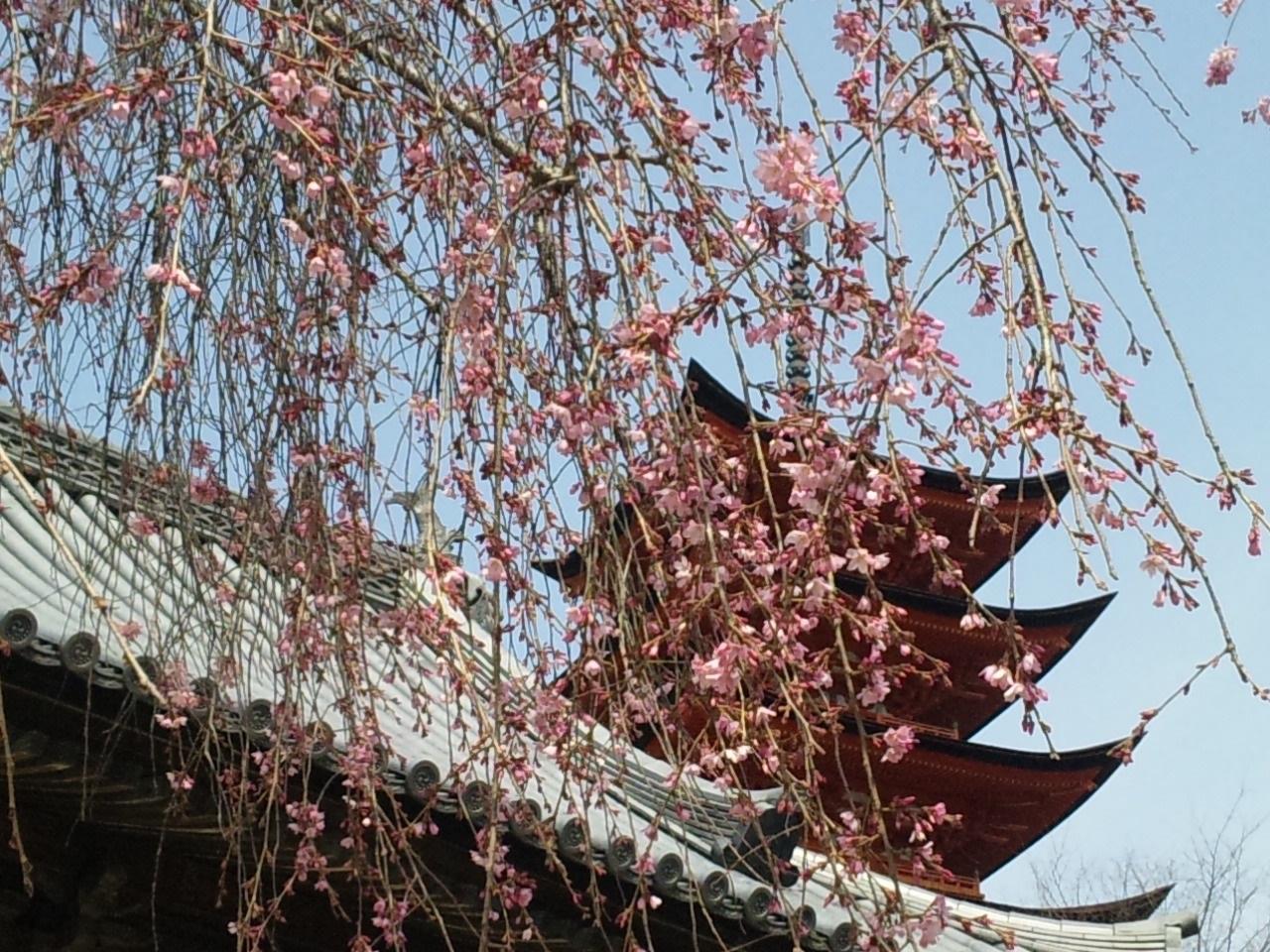御文庫のしだれ桜
