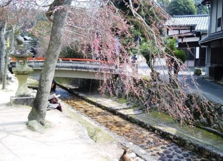 御手洗川の桜