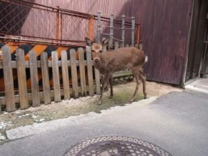 鹿がこっちを見た