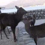 世話好きな鹿さん