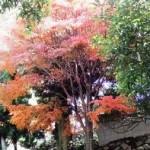 弥山本堂 トイレ傍の紅葉