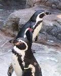 3-3 フンボルトペンギン