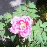 ボタンの花