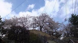 要害山の桜